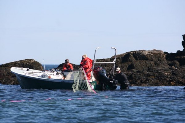 Researchers haul back a gillnet to check for captured harbor seals in Penobscot Bay off Rockland in April 2012.