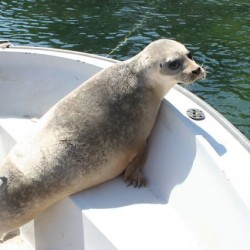 Wayward seal makes it way far up Maine river