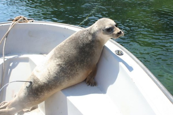 A harbor seal is tagged in Penobscot Bay off Rockland in April 2012.