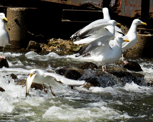 Gulls feat on running alewives at Damariscotta Mills.