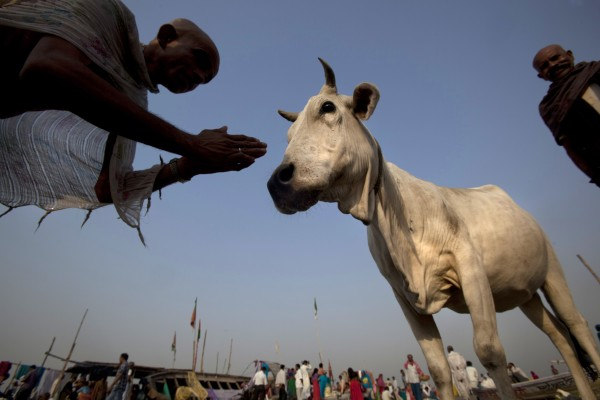 A Hindu devotee prays to a cow at the Sangam, the confluence of the Rivers Ganges, Yamuna and the mythical Saraswati, on the occasion of Ganga Dussehra festival, in Allahabad, India on Wednesday, May 30, 2012. Hindus across the country celebrate Ganga Dussehra by worshiping the River Ganges, which is considered as the most sacred and the holiest river. The water of the Ganges is worshiped in sealed containers in every home, sprinkled as a benediction of peace.