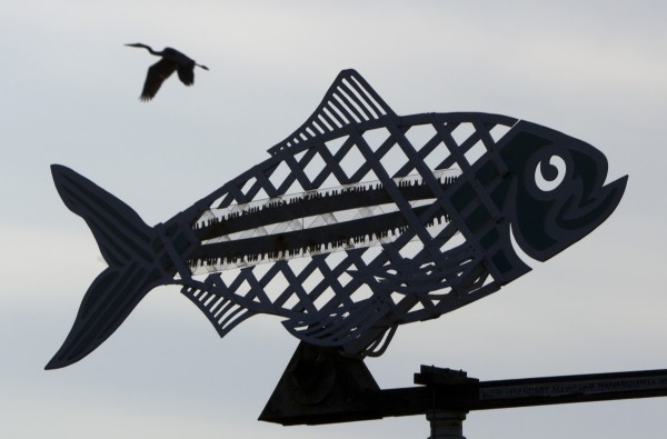 A great blue heron flies in the sky behind an alewife weathervane at the Damariscotta Mills Fish Ladder on Thursday, May 16, 2012, in Nobleboro.