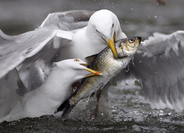 A pair of gulls fight over an alewife plucked from the waters below the Damariscotta Mills Fish Ladder on Wednesday, May 16, 2012, in Nobleboro.