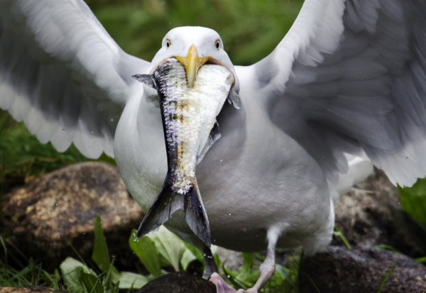 A gull swallows an alewife whole below the Damariscotta Mills Fish Ladder on Wednesday, May 16, 2012, in Nobleboro.