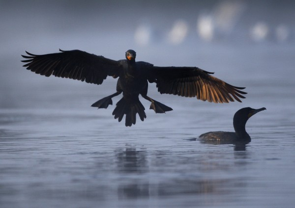 A cormorant comes in for a landing below the Damariscotta Mills Fish Ladder on Wednesday, May 16, 2012, in Nobleboro.