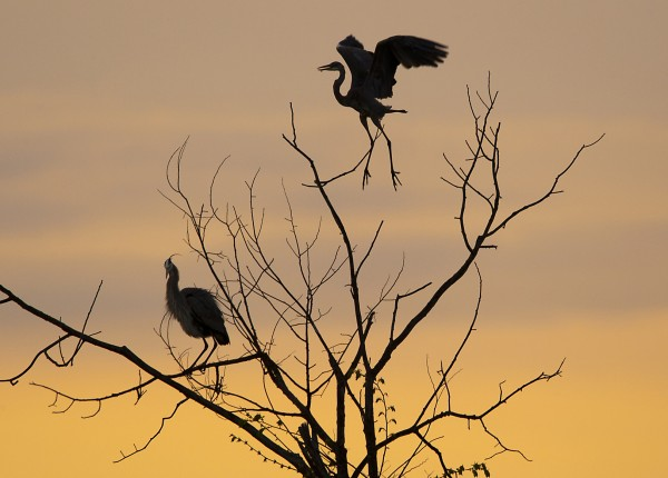 A great blue heron lifts off from a tree at dawn near the Damariscotta Mills Fish Ladder in Nobleboro.