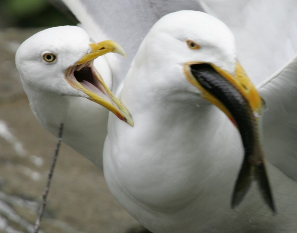 A pair of gulls fight over an alewife plucked from the waters below the Damariscotta Mills Fish Ladder in Nobleboro.