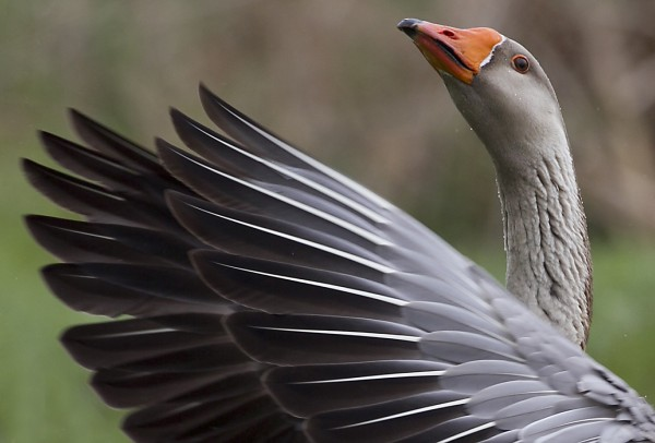 A local goose flaps its wings at a bay just below the Damariscotta Mills Fish Ladder on Wednesday, May 16, 2012, in Nobleboro.