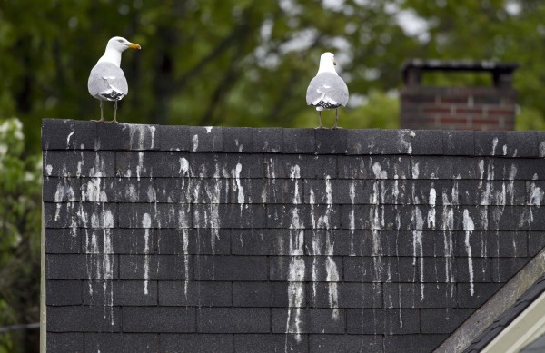 Gulls leave their mark on the roof of a home next to the Damariscotta Mills Fish Ladder on Wednesday, May 16, 2012, in Nobleboro.