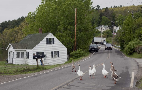 Geese cross the road near the Damariscotta Mills Fish Ladder on Wednesday, May 16, 2012, in Nobleboro.