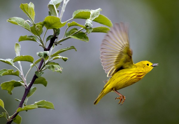 A yellow warbler flies from an apple tree near the Damariscotta Mills Fish Ladder on Wednesday, May 16, 2012, in Nobleboro.