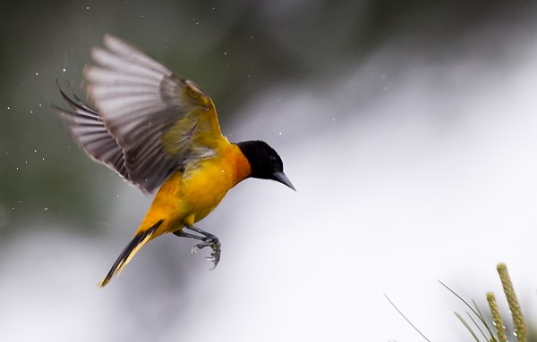 A Baltimore oriole prepares to land on a white pine next to the Damariscotta Mills Fish Ladder on Wednesday, May 16, 2012, in Nobleboro.
