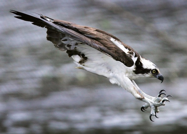 An osprey extends its talons as it plunges toward the water while going after an alewife at the Damariscotta Mills Fish Ladder in Nobleboro.