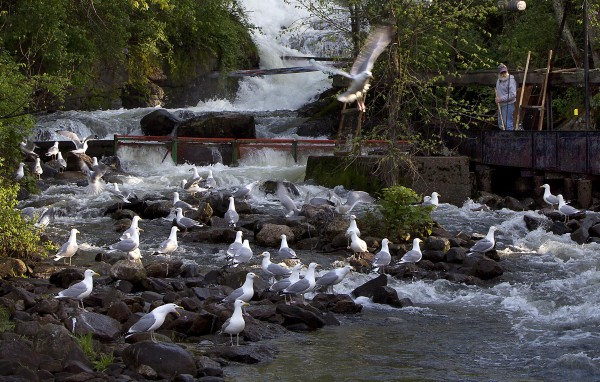 Gulls gather below the alewife harvesting station at the Damariscotta Mills Fish Ladder on Thursday, May 16, 2012, in Nobleboro.