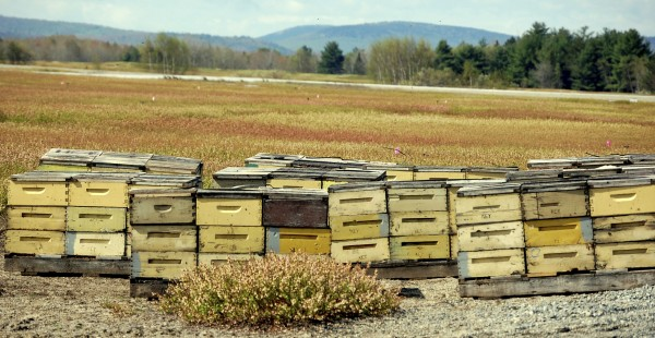 "The estimated 1 billion honeybees trucked into Down East and midcoast Maine in recent weeks to pollinate the wild blueberry crop are clustered in hives within ""bee yards"" established throughout the region, like this one in Deblois. Many of the hives in Washington County that are being rented by Jasper Wyman & Son, Maine's largest producer, are protected by electric fence to ward off hungry bears."