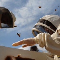 Hired bees play major role in Maine blueberry industry