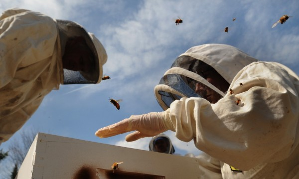 University of Maine professor of insect ecology Frank Drummond (left), research scientist Jennifer Lund (right) and graduate student Beth Choate (obscured) check a beehive while collecting samples of bees from hives that are observed as a study in Stockton Springs in April 2009.
