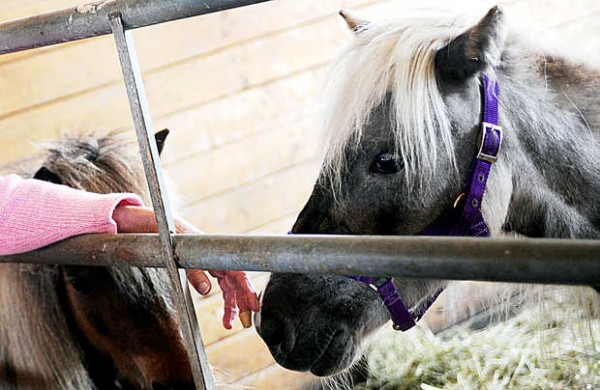 Marilyn Goodreau gently strokes the nose of Misty, a miniature horse that had been so neglected in Massachusetts that she was feral when she arrived at MSSPA in Windham.