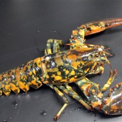 Huge lobster finds aquarium home after cross-country journey