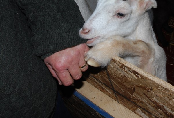 For a Talk of the Town Farm goat, anything within reach is fair game for a nibble.