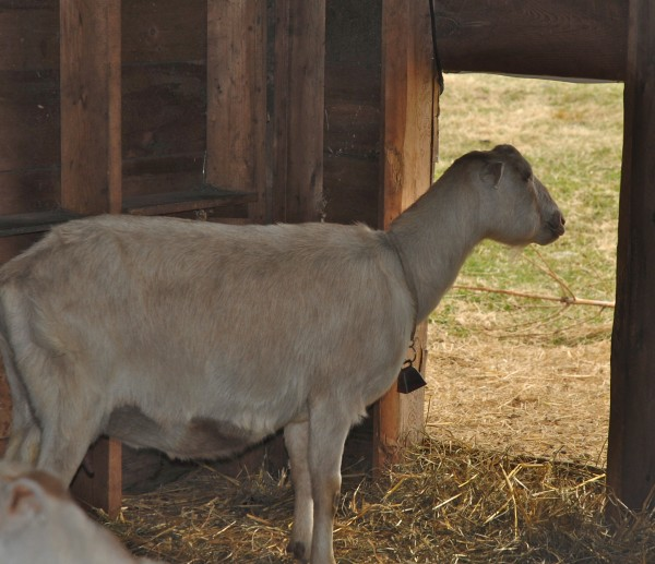A Talk of the Town Farm goat considers whether the grass is, indeed, greener on the other side of the barn door.