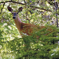 Sporting groups unveil Maine Deer Management Network