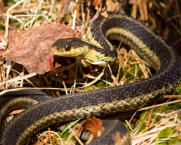 A garter snake looks for a meal.