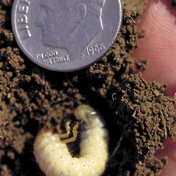 Research before you react when it comes to grubs damaging your lawn