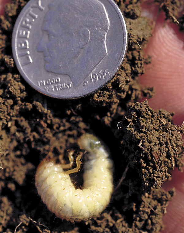 A dime indicates the size of a beetle grub removed from a Bangor lawn. Hatching in late winter and early spring, white grubs feed on turf grass roots and leave brown patches on lawns.