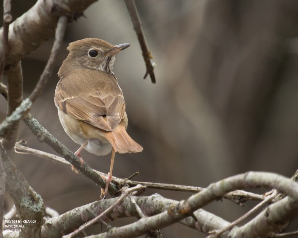 A hermit thrush perches on a branch.