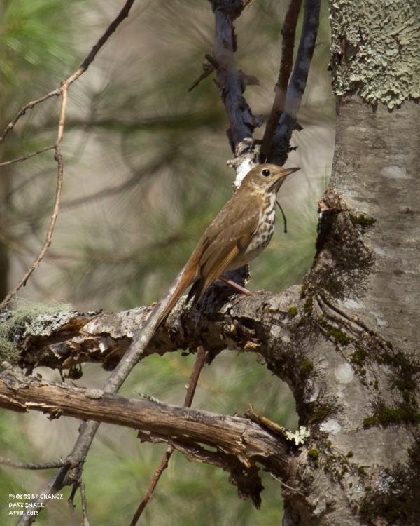 A hermit thrush.