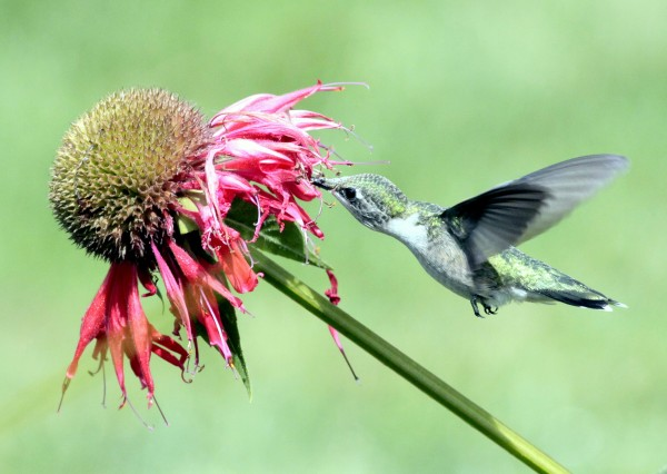 A female ruby-throated hummingbird moves in for some nectar.