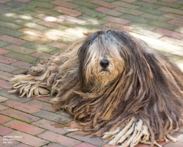 Lupi the Bergamasco.