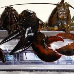 Lobster hatchery suspends operations