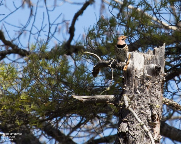 A northern flicker finds a perch.