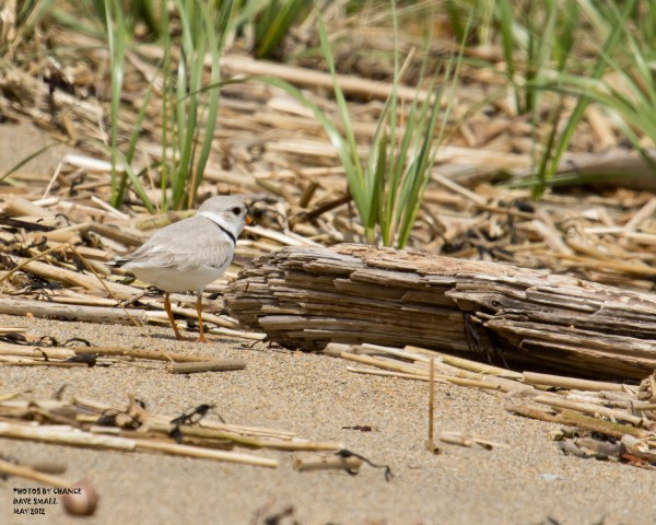 A piping plover defends its territory.