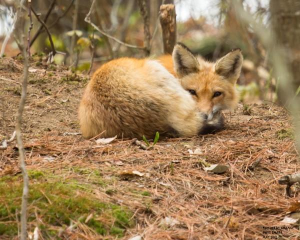 A neighborhood red fox.