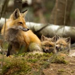 A neighborhood red fox tends to her kits.