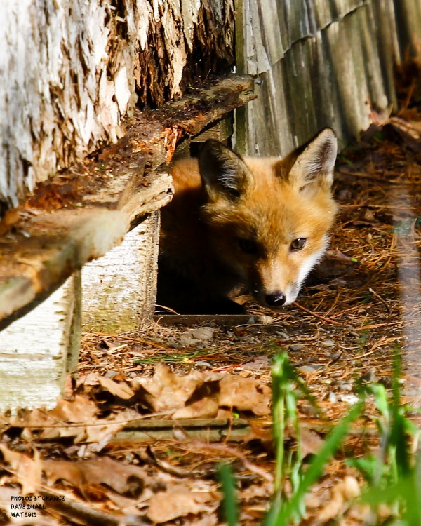 A red fox kit peers from its hiding place.