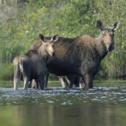 Five prime moose-viewing areas in Maine