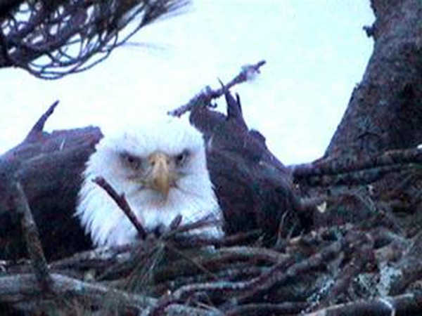 A recent photo of a bald eagle taken with the Nextera Maine Eagle Cam1 in Hancock County.