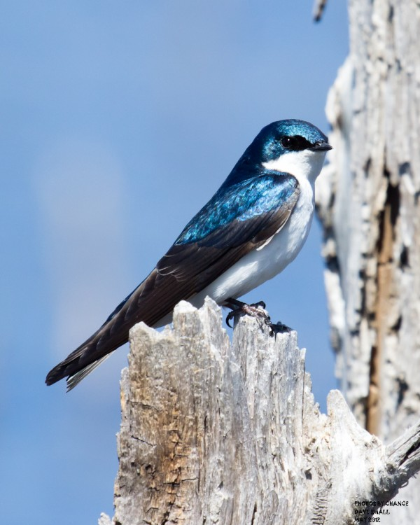 A tree swallow.
