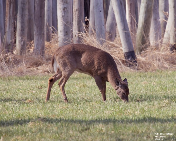 A white-tailed deer feeds in Old Town.