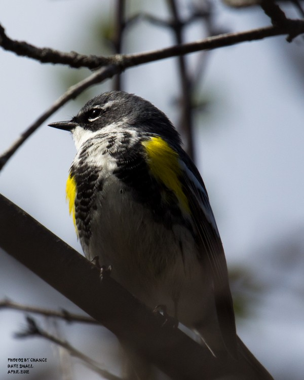 A yellow-rumped warbler.