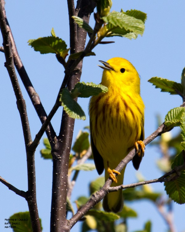 A yellow warbler.