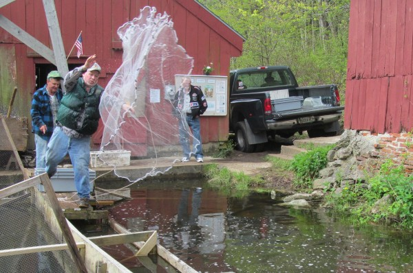 Steve Dodge, who has been involved in the harvest of alewives at Nequasset Creek in Woolwich for more than 50 years, throws a hand net into a holding pool on Sunday, May 13, 2012.