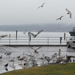 Rockland warns woman for feeding seagulls