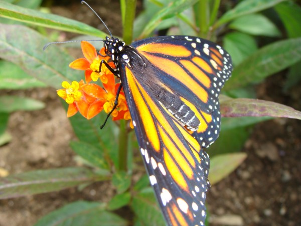 A monarch butterfly feeds on milkweed in the Charlotte Rhoades Park and Butterfly Garden in Southwest Harbor on Mount Desert Island.