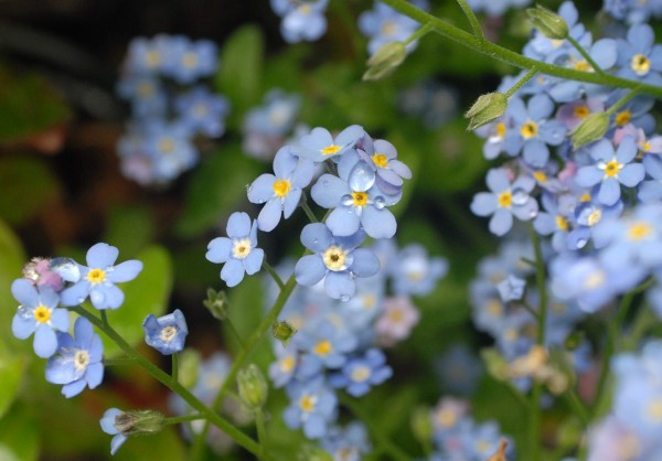 Forget-me-nots are one of the flowers that Asa Marsh-Sachs, employee at the Central Street Farmhouse, is planting in the garden.