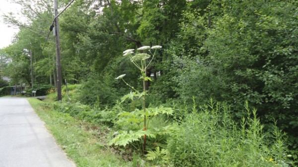 This is a picture of the giant hog weed from last year on George Street. At this stage, it is going to seed. It should not be allowed to get to this stage and spread. They can grow to be 10-15 feet tall, and the leaves are very large. The plant is extremely dangerous and people should not touch the sap; blistering will follow. If you suspect the presence of the plant, do not try to remove it yourself. Call the Northport Town office, 207-338-3819, and they will get professionals to come deal with it.